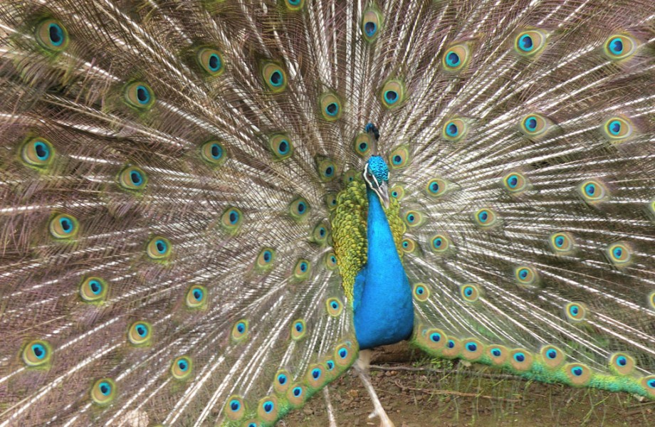 Photo of the Week: Peacock