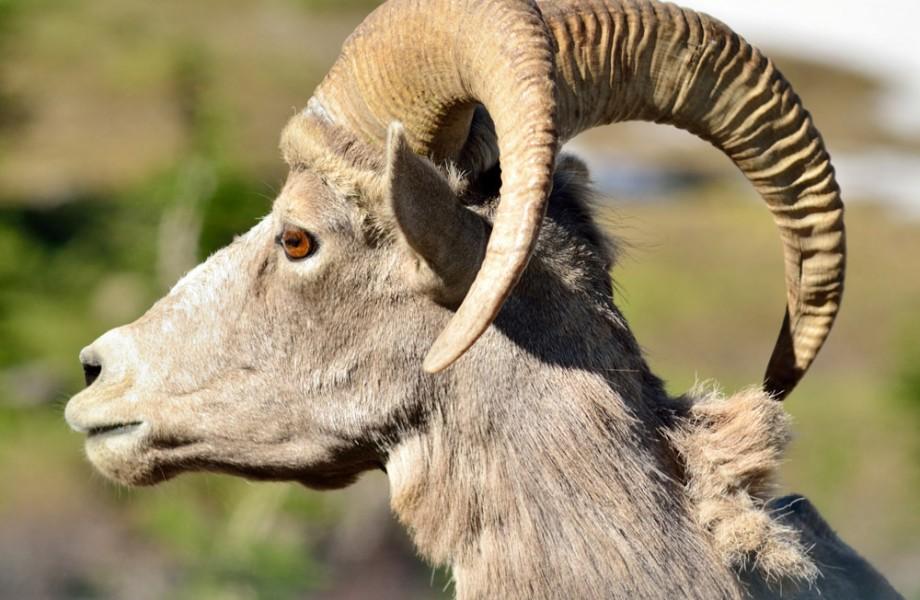 Photo of the Week: Montana Bighorn Sheep