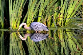 Reflected Blue Heron