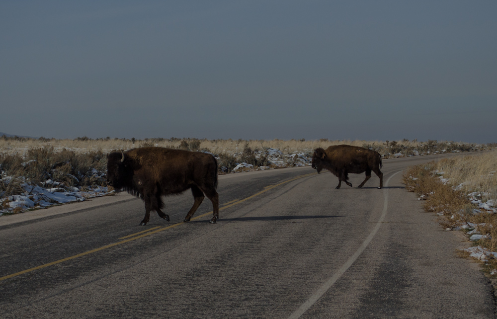 Antelope Island bufalo crossing the road