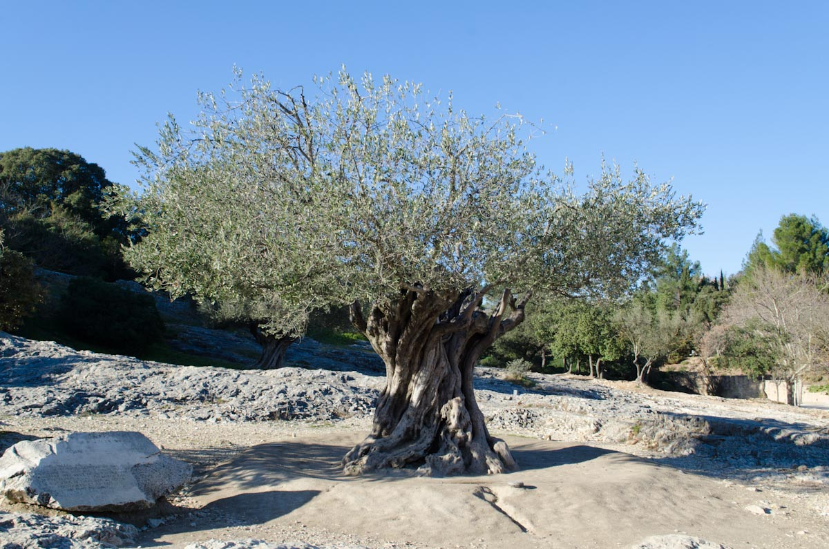 1100 Year Old Olive Tree