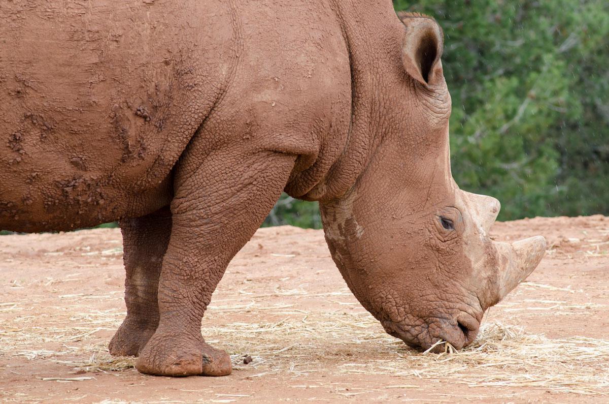 White Rhino at the Rabat Zoo