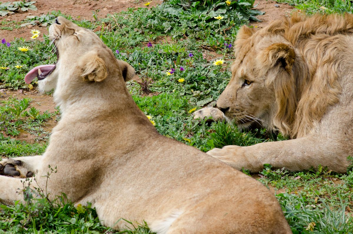 Lions at the Rabat Zoo