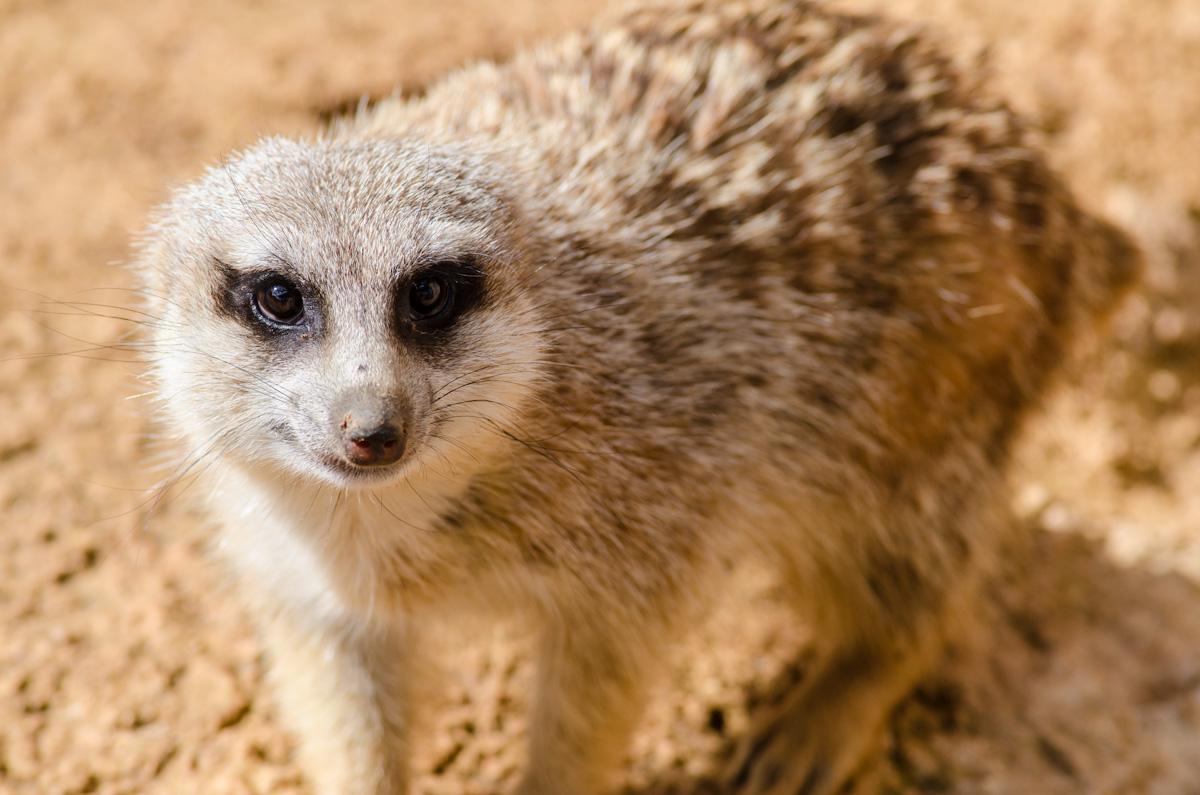 Meerkat at the Rabat Zoo