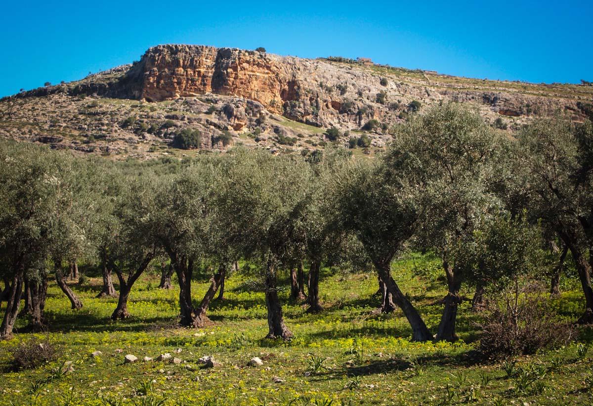 Walk to Volubilis.  Olive groves.