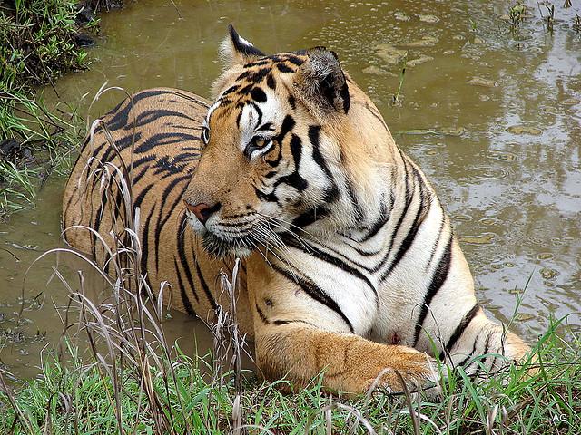 Tiger - Ashish Gautamm