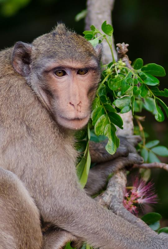 Macaque monkey at Angkor Wat