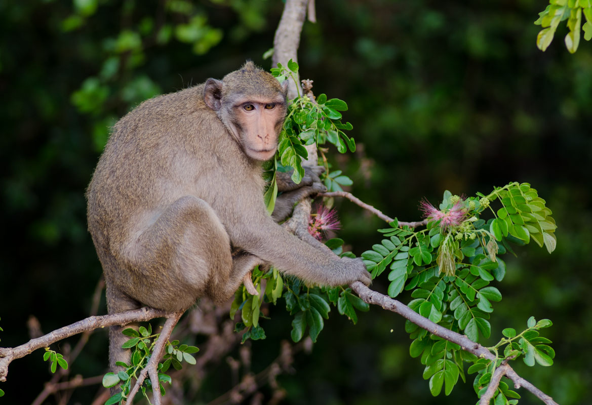 A long tailed macaque monkey