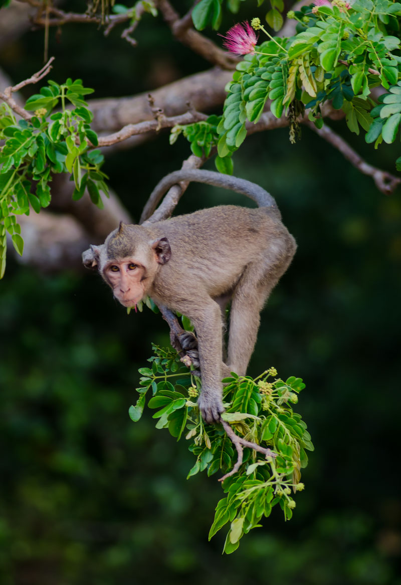 A long tailed baby macaque monkey