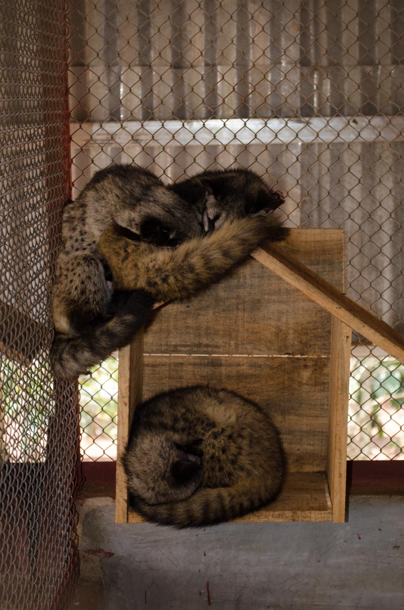 Civets at Weasel Coffee Farm