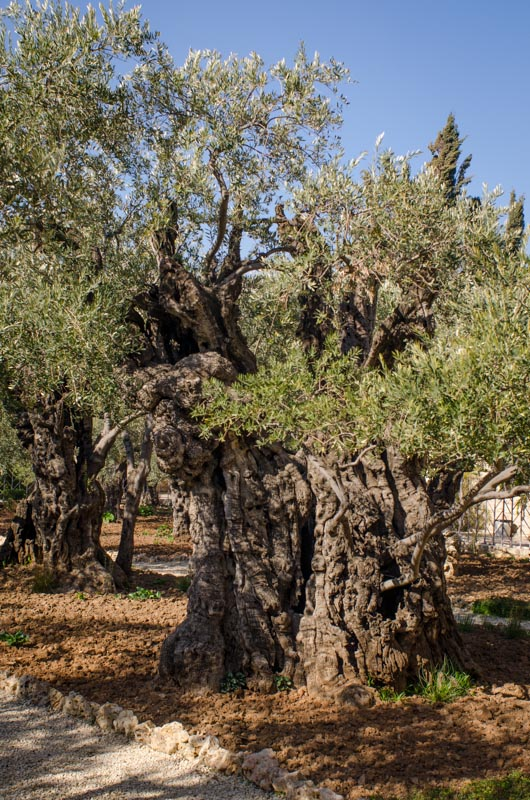 Olive tree that is said to have been alive at the time of Jesus