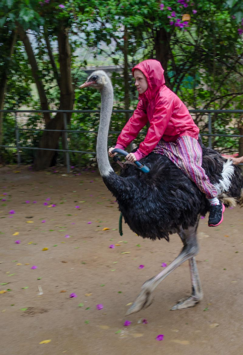 Riding Ostriches
