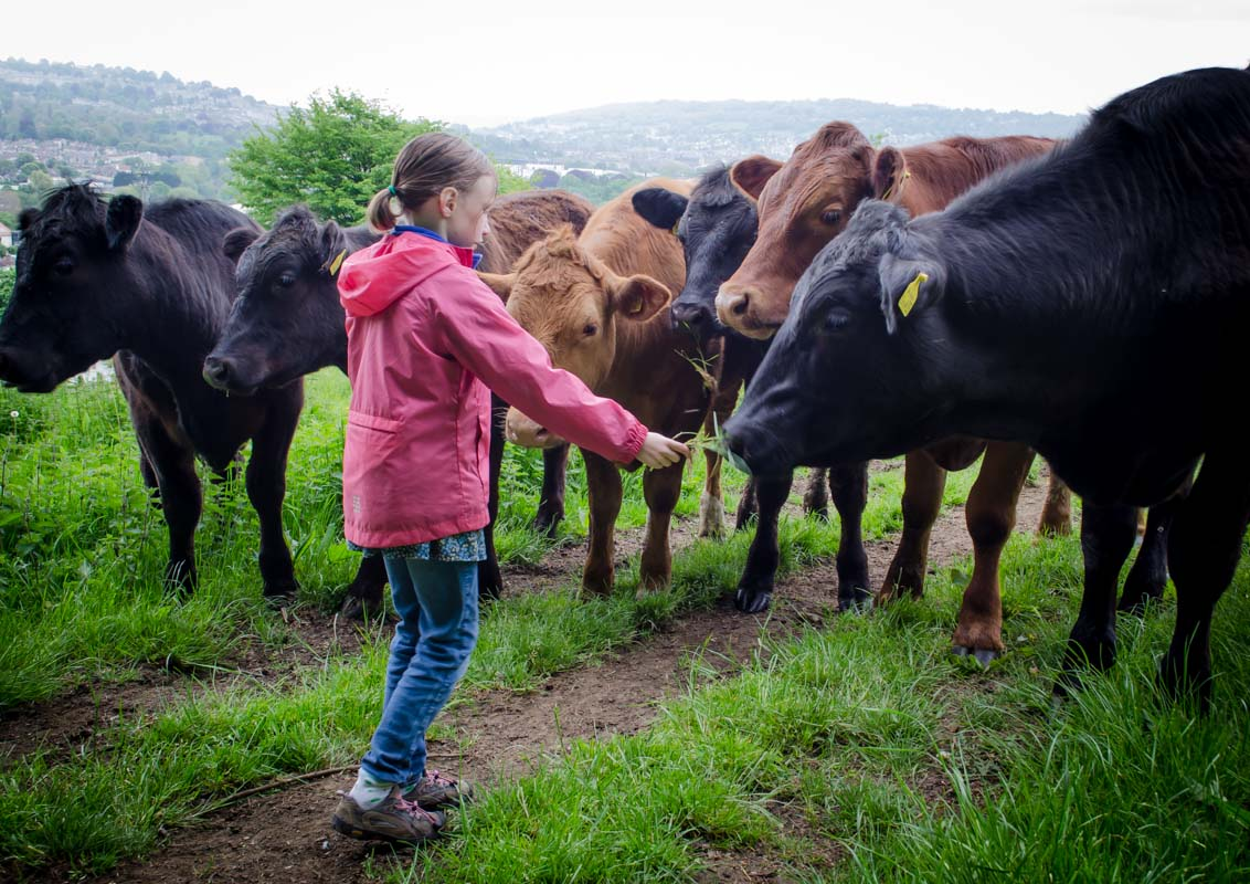 Sydney feeding cows