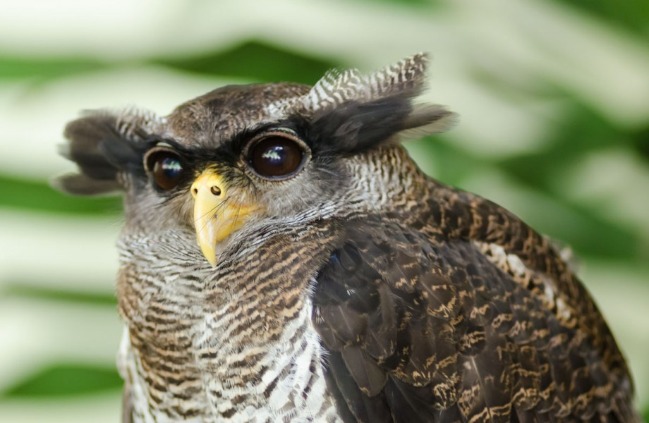 Malay Eagle Owl