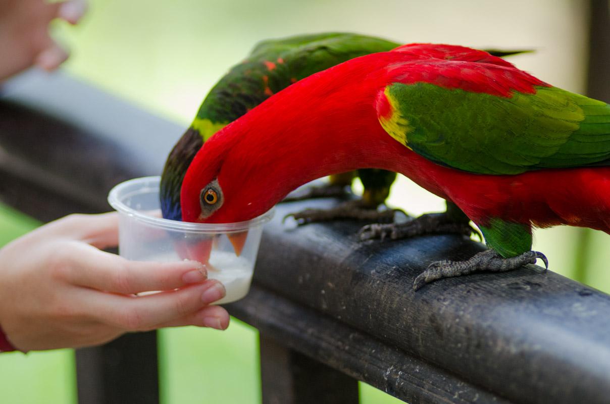 Sydney hand feeding a Red Lory