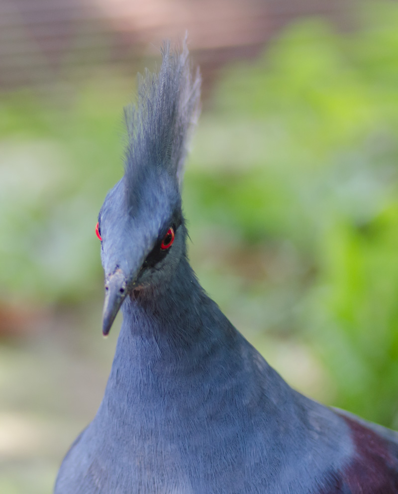 Victoria Crowned Pigeon, aka the Evil Punk Rock Bird