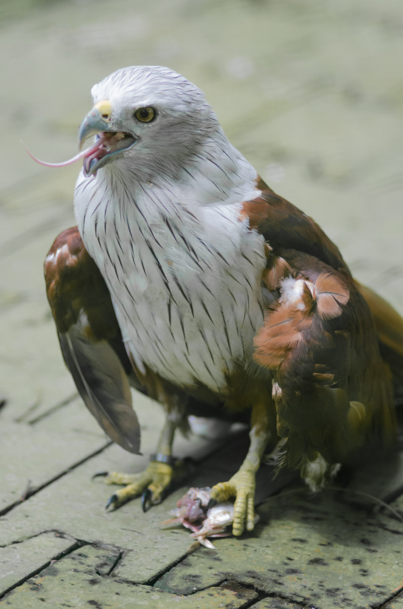 Eagle eating mouse