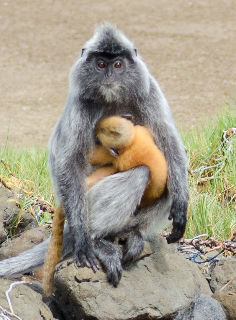 Silver Langur and Baby