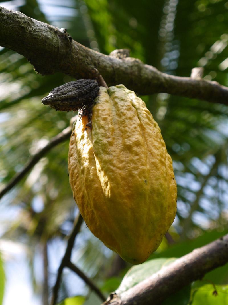 Ripened fruit of the cocoa tree
