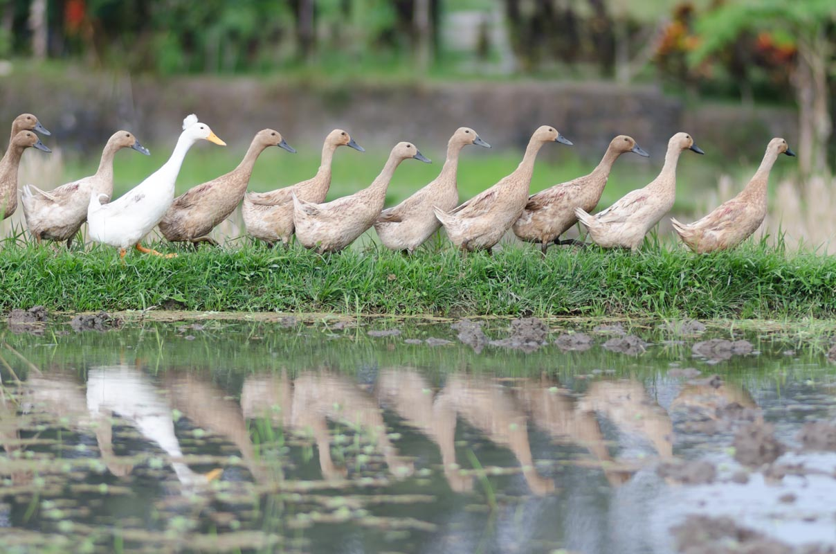 Ducks all in a line