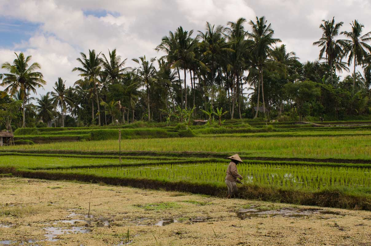 Rice Fields of Ubud