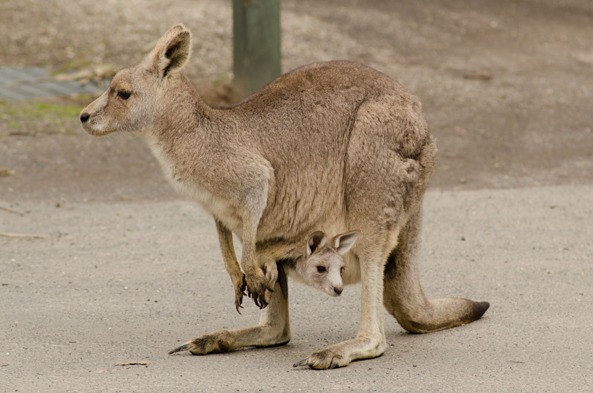 Mother and her joey