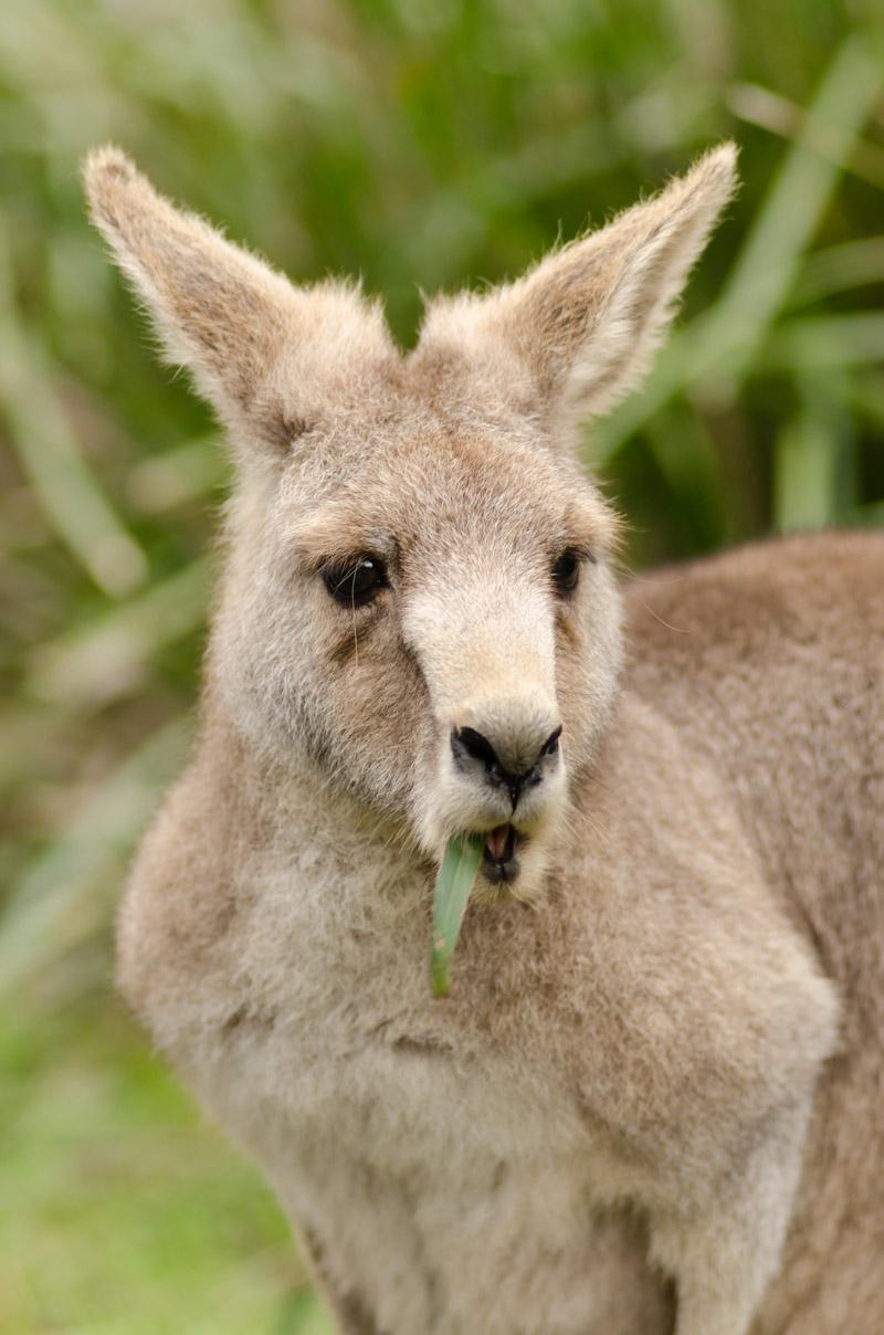 A kangaroo eating grass