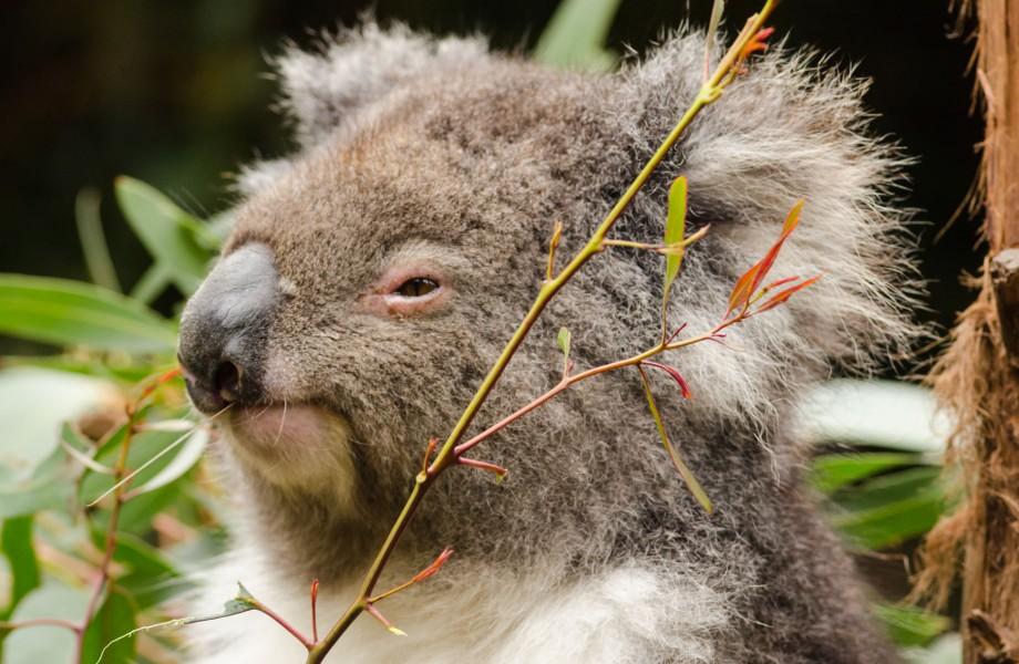Photo of the Week: Koala