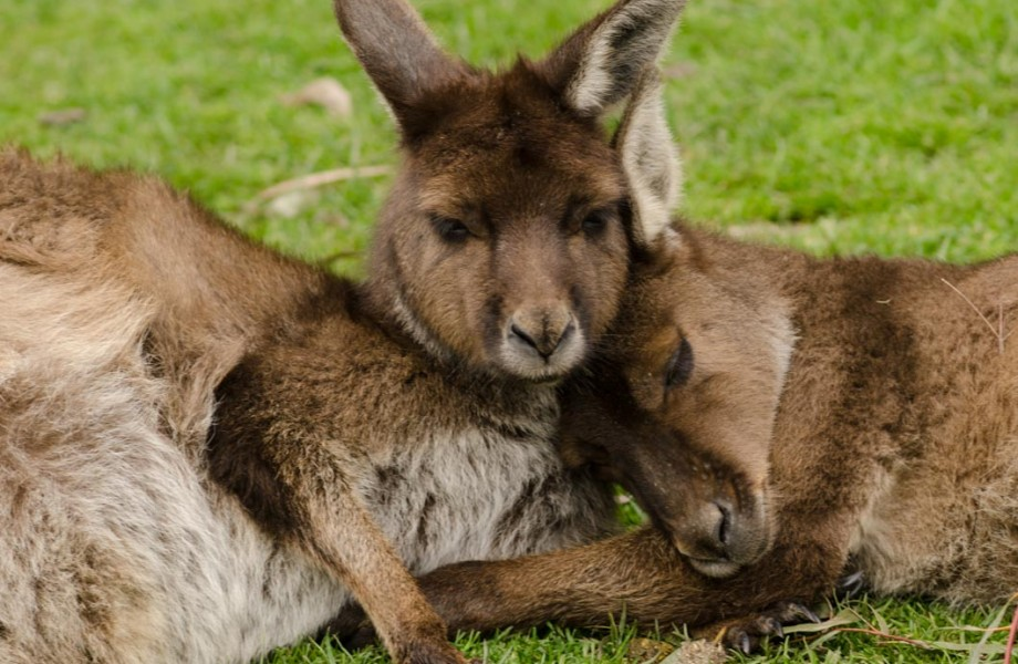 Sydney's Corner:  Kuddly Kangaroos of Australia