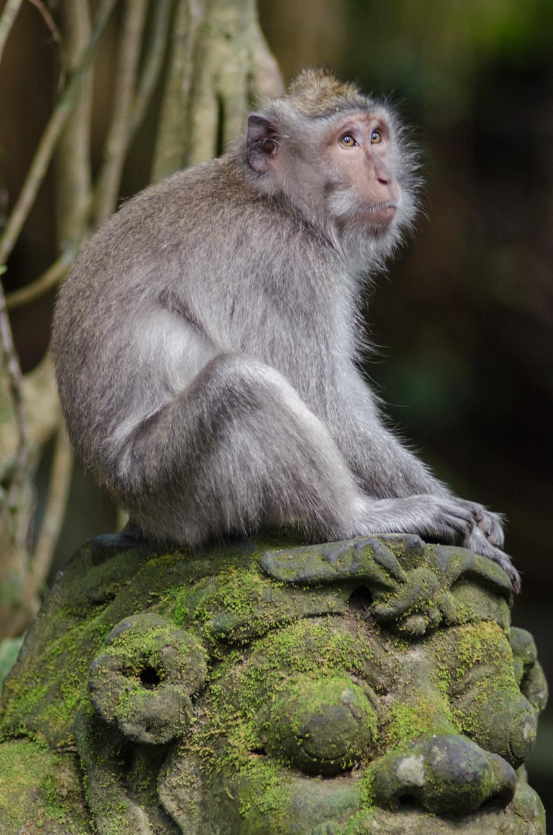 Monkey Forest Long-Tailed Macaque
