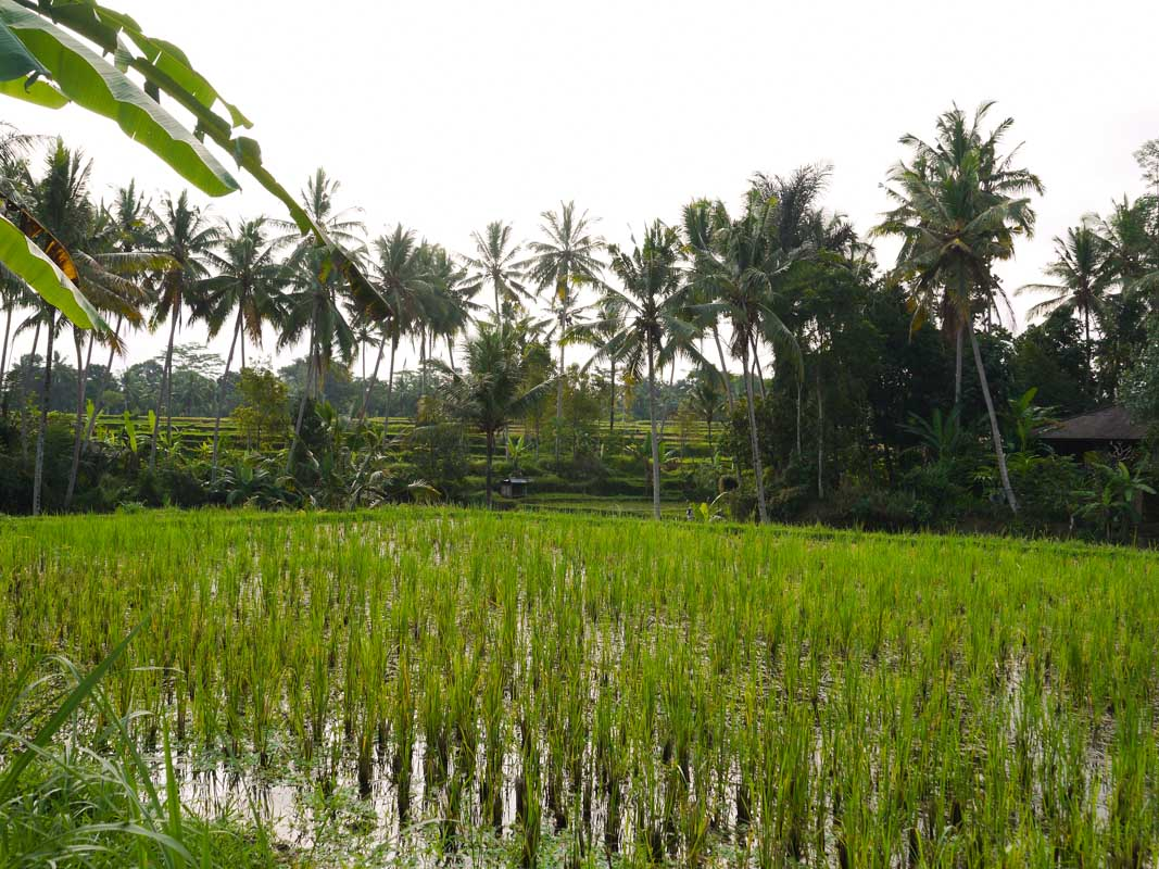 View of the rice fields from our house