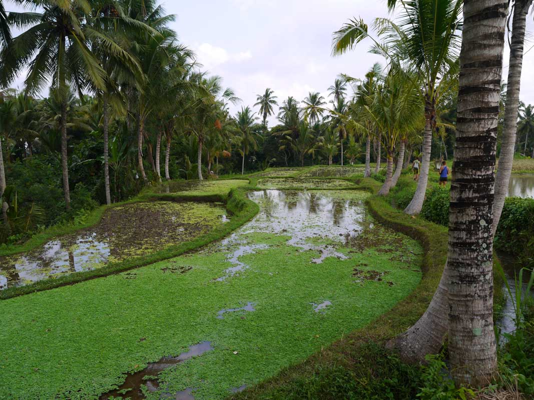 Ubud rice fields