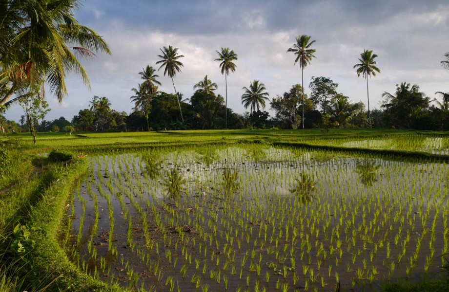 Rice Fields of Ubud Bali