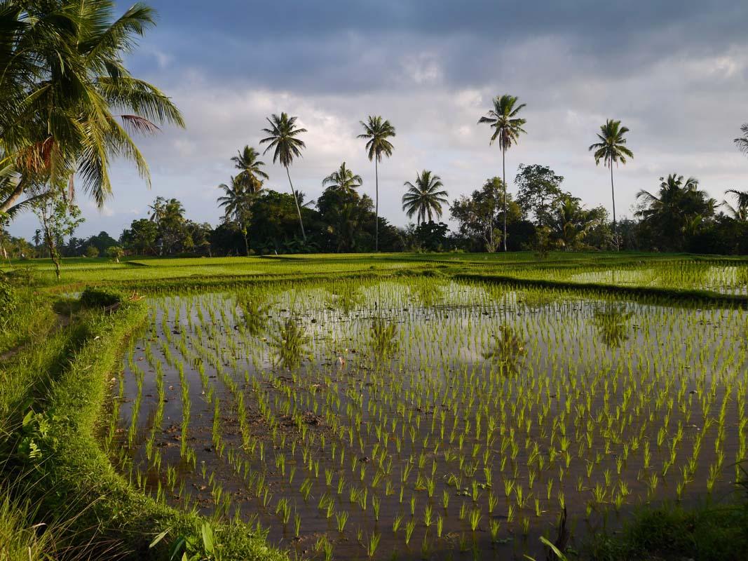 Rice fields of Ubud