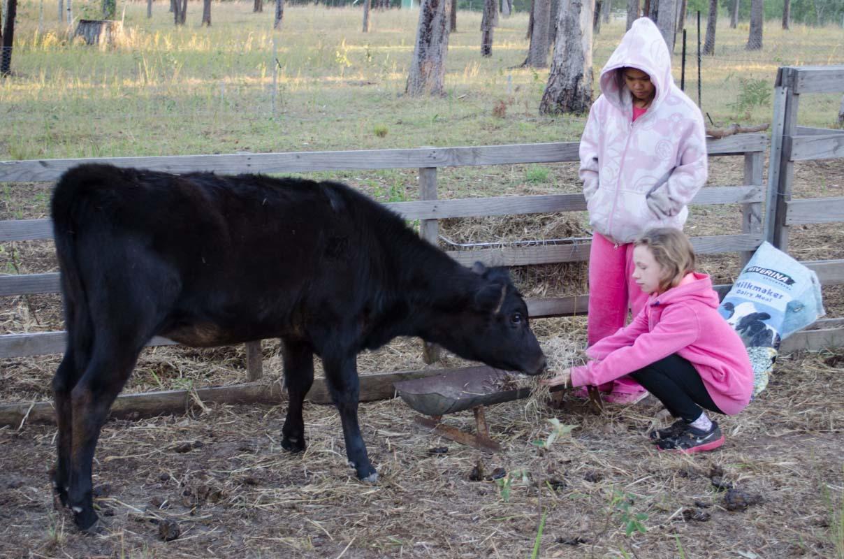 Feeding the cow