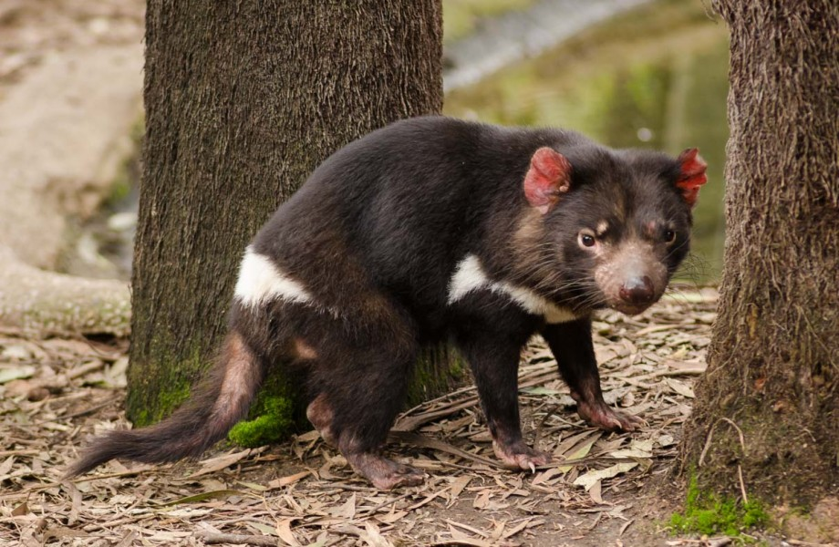 Sydney's Corner: The Tasmanian Devil