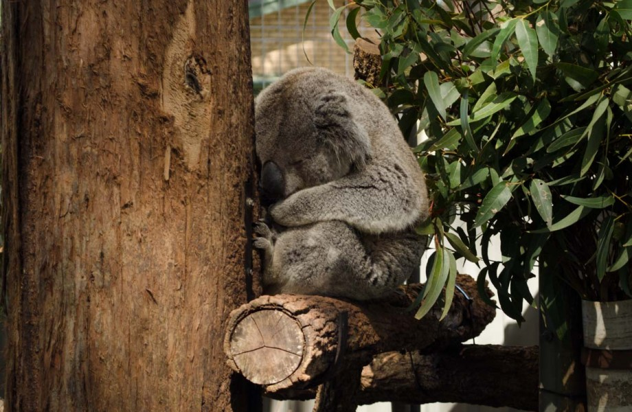 Sydney's Corner:  Koalas and the Koala Hospital