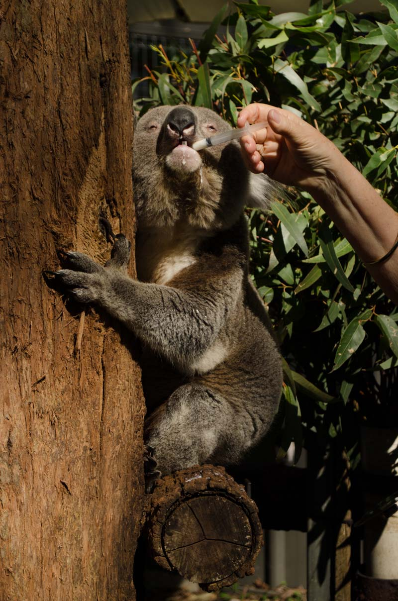 Feeding the koala extra nutrients to help her recover